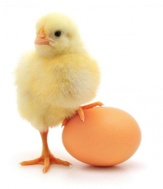 baby-chick-and-an-egg_4473966_lrg.jpg