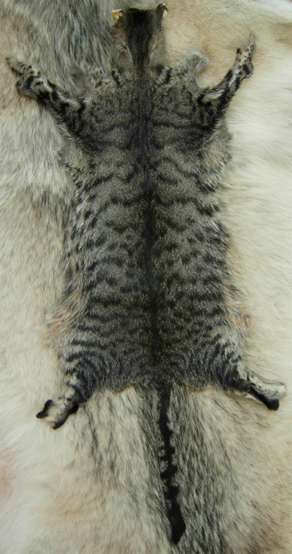 snow leopard domestic cats for sale